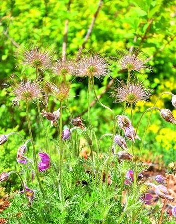 Flower of Primula - sleep-grass or Pulsatilla patens