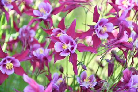 pink columbine: Aquilegia flower in the garden summer day