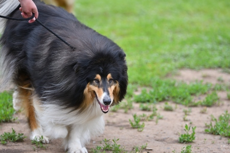 Dog breeds of Collie on a walk in the summer