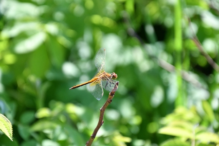 Dragonfly (LAT. Odonata) refers to the flying squad Predatory insects Stock Photo
