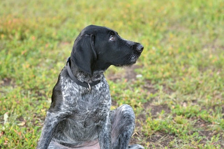 wirehair: Hunting dog breed German Wirehaired pointer on the walk Stock Photo