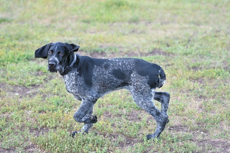 Hunting dog breed German Wirehaired pointer on the walk Stock Photo