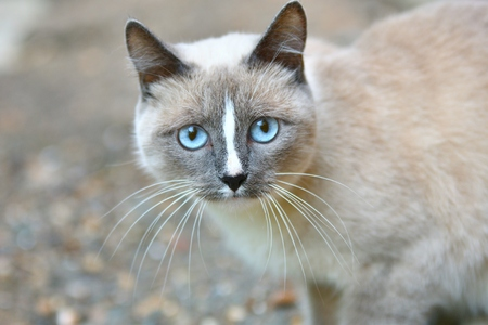 heartwarming: Cat with blue eyes walks in the fresh air
