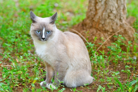 gray: Cat with blue eyes walks in the fresh air