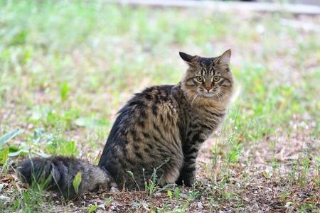 Siberian cat breed on walk in autumn day