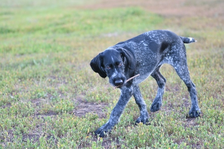 2018 year-year of the dog. Hunting dog breed German Wirehaired pointer on the walk Stock Photo