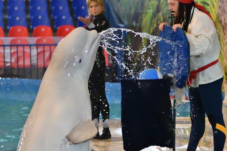 Orenburg, Russia - November 8, 2017 year: Belukha (LAT. Delphinapterus leucas) in the Dolphinarium throws the ball into the basket