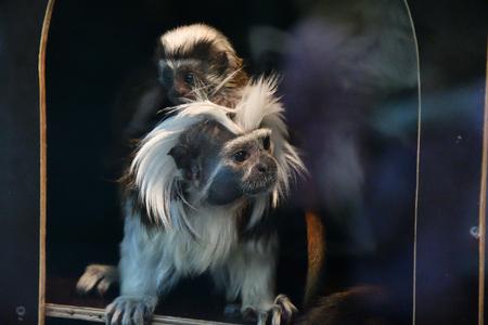 Oedipus Tamarin view igrunkovyh monkeys kind of tamarins (Saguinus)