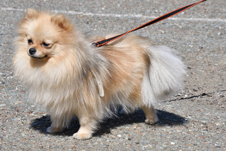 Dog breeds of German Spitz on a walk in the morning