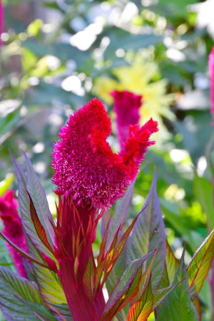 Amaranth flower in the summer garden on a hot day