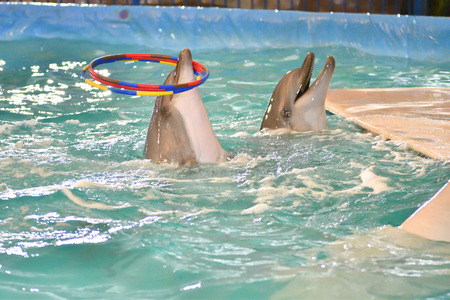 Dolphin performs a exercises with hoop in the indoor pool
