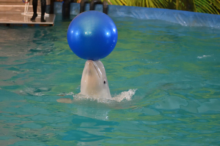 Belukha performs an exercise ball in the indoor pool