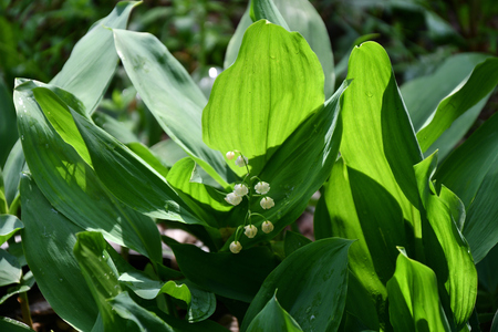 Wild flowers of lily of the Valley in the spring forest
