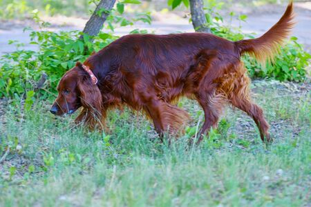 Dog breed Irish Red setter on a walk in the summer morning Stock Photo