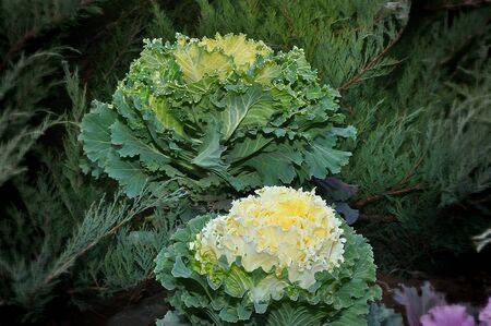 Multi-coloured decorative cabbage in the autumn garden 写真素材 - 128907418