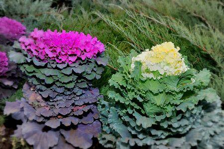 Multi-colored decorative cabbage in the autumn garden 写真素材 - 128907421