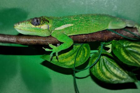 Knight Anole (LAT. Anolis equestris) is one of the species anolisov