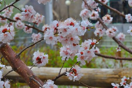 Apricot blossom in Spring Garden