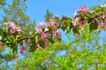 Pink flowers of the Apple-tree in Spring Garden
