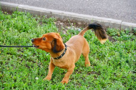 Dog breed Dachshund on a walk in the summer morning