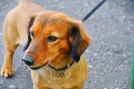 Dog breed Dachshund on a walk in the summer morning 写真素材 - 129373884