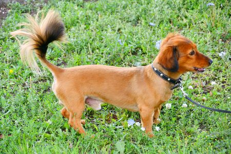 Dog breed Dachshund on a walk in the summer morning 写真素材 - 129374283