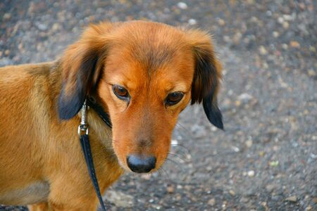 Dog breed Dachshund on a walk in the summer morning 写真素材 - 129374282