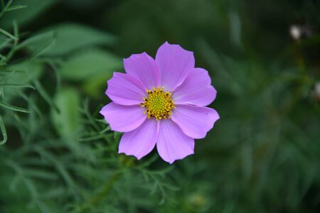 Flower Kosmeya or flower cosmos in the autumn garden 写真素材 - 129831689