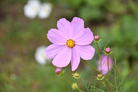 Flower Kosmeya or flower cosmos in the autumn garden