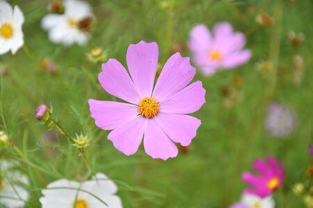 Flower Kosmeya or flower cosmos in the autumn garden 写真素材 - 129831693