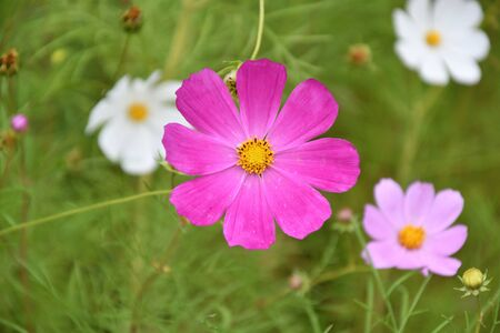 Flower Kosmeya or flower cosmos in the autumn garden 写真素材 - 129831694