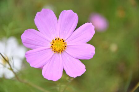Flower Kosmeya or flower cosmos in the autumn garden 写真素材 - 129831698
