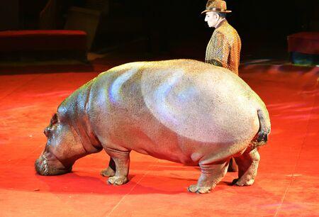 Orenburg, Russia - October 12, 2019: Trainer and hippopotamus in the circus arena 写真素材 - 131742972