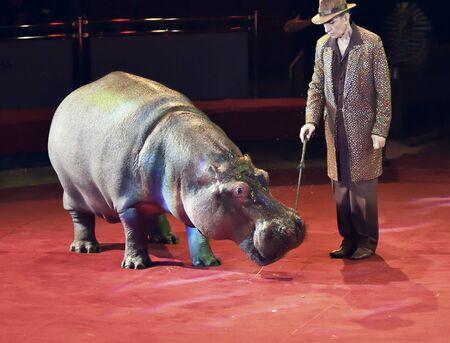 Orenburg, Russia - October 12, 2019: Trainer and hippopotamus in the circus arena 写真素材 - 131742956