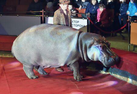 Orenburg, Russia - October 12, 2019: Trainer and hippopotamus in the circus arena 写真素材 - 131742960