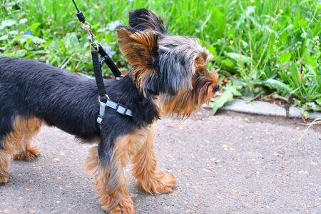 Dog breed Yorkshire Terrier on a walk in the summer morning