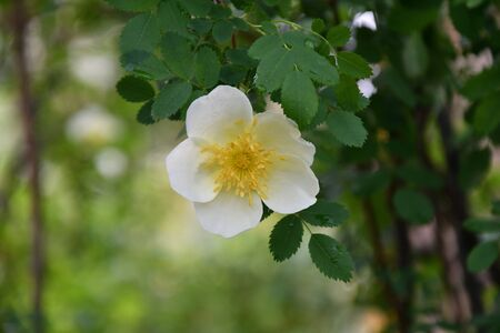 White flowers of wild rose in the spring forest 写真素材 - 131960266