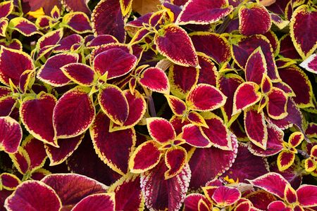 Coleus the leaves purple-yellow color in the autumn garden 写真素材 - 131960503