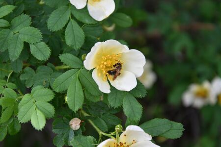 White flowers of wild rose in the spring forest