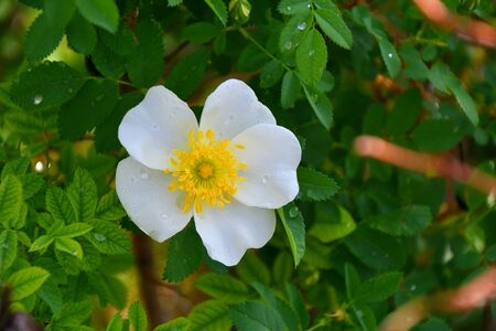 White flowers of wild rose in the spring forest 写真素材 - 131960616