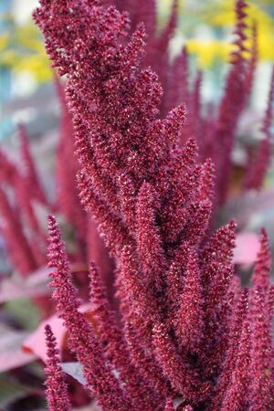Amaranth flower in the summer garden on a hot day 写真素材 - 131961073