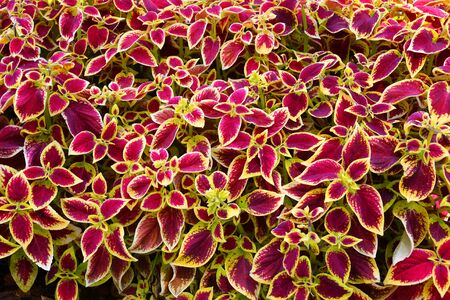 Coleus the leaves purple-yellow color in the autumn garden