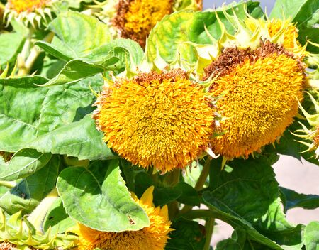 Decorative sunflower in the afternoon in the autumn garden 写真素材