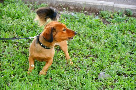 Dog breed Dachshund on a walk in the summer morning