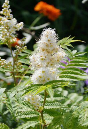 White flower of the Sorbaria in the summer garden