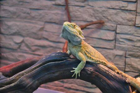 Bearded agama (Lat. Pogona barbata) is a species of agam lizard Standard-Bild - 137499675
