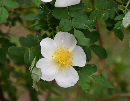 White rosehip flower after rain in spring garden Standard-Bild
