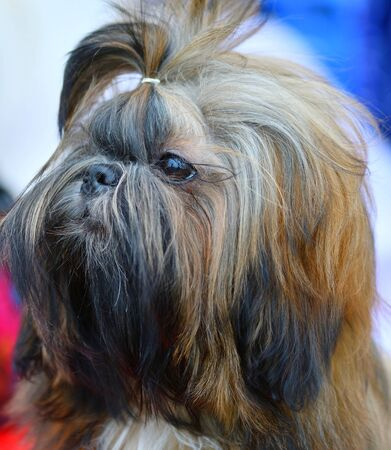 Dog breed Yorkshire Terrier on a walk on a summer day 写真素材 - 143224070