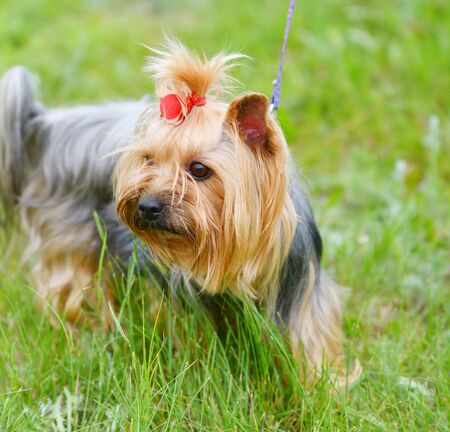 Dog breed Yorkshire Terrier on a walk on a summer day 写真素材 - 143224071