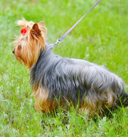 Dog breed Yorkshire Terrier on a walk on a summer day